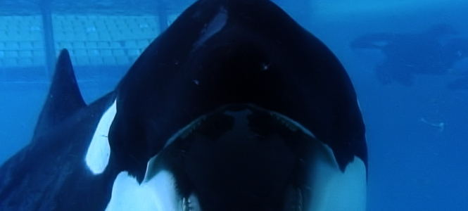 Tilikum in a scene from BLACKFISH, a Magnolia Pictures release. Photo courtesy of Magnolia Pictures.