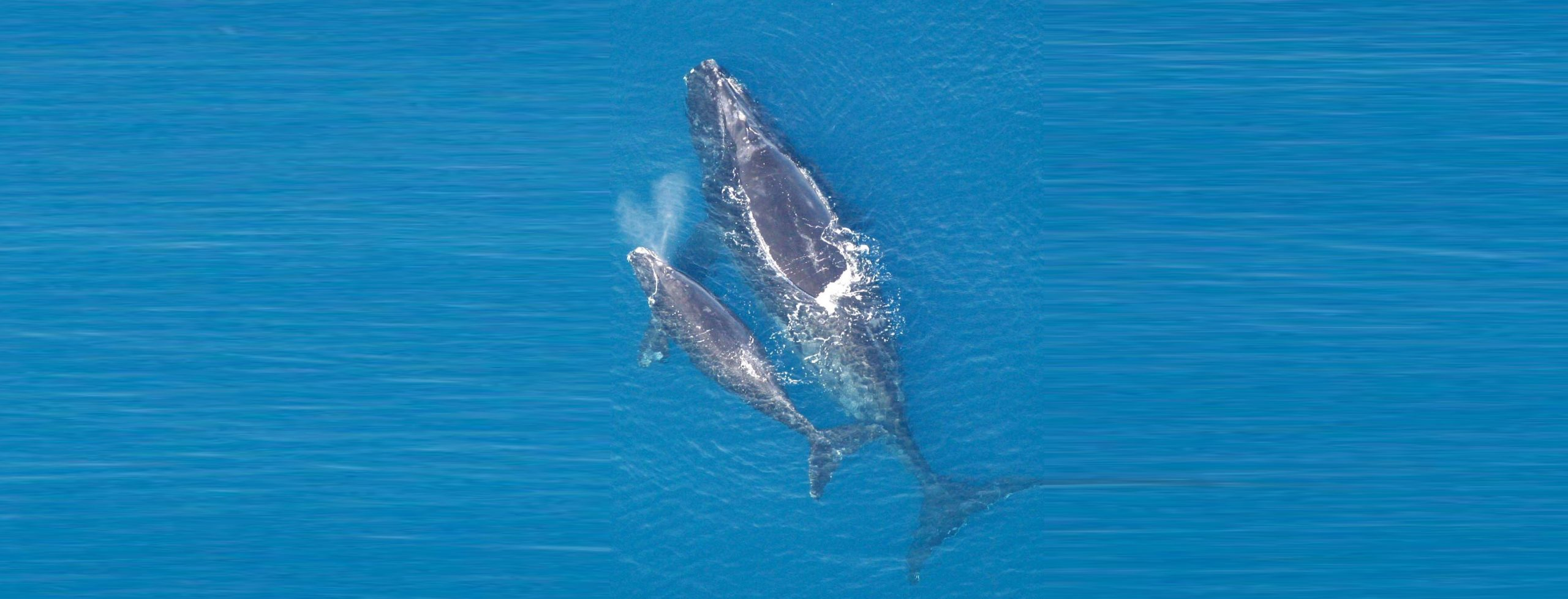 Save the Right Whale